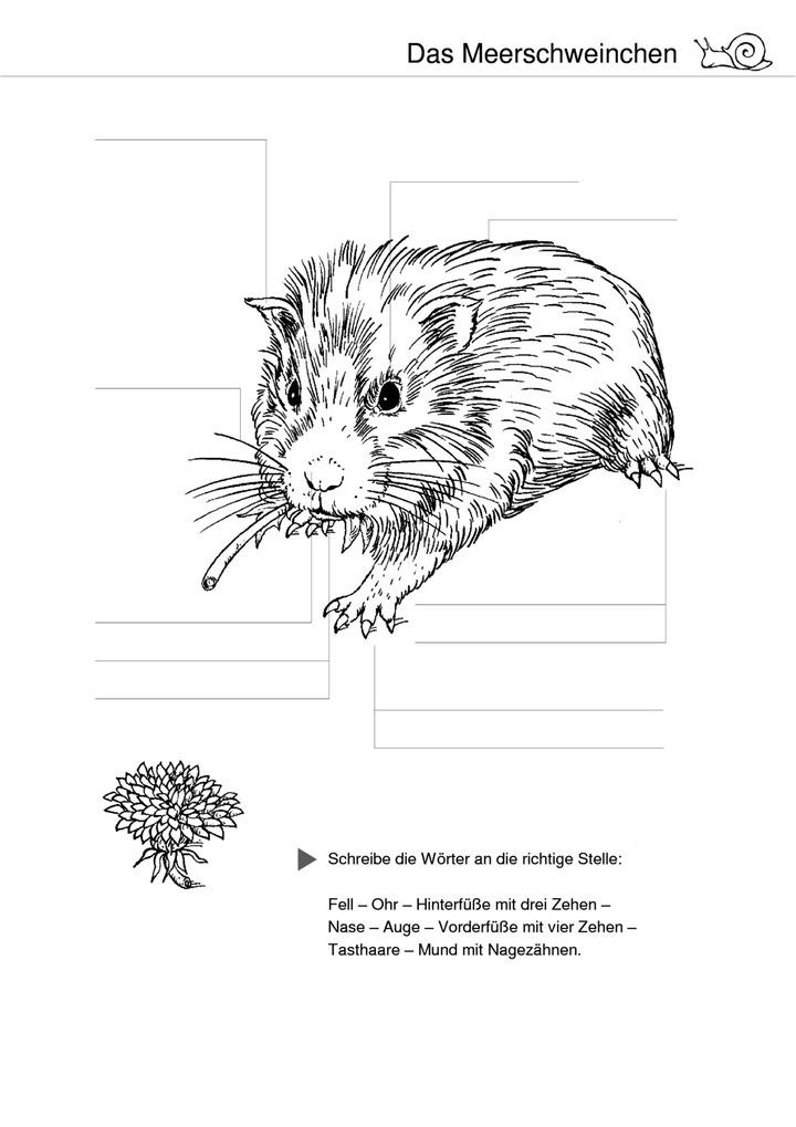Das Meerschweinchen - Körperteile: Verlage der Westermann Gruppe